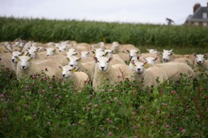 Lambs_in_Clover_300px_x_200px.jpg