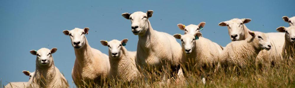 Ewe & Lambs with blue sky.jpg