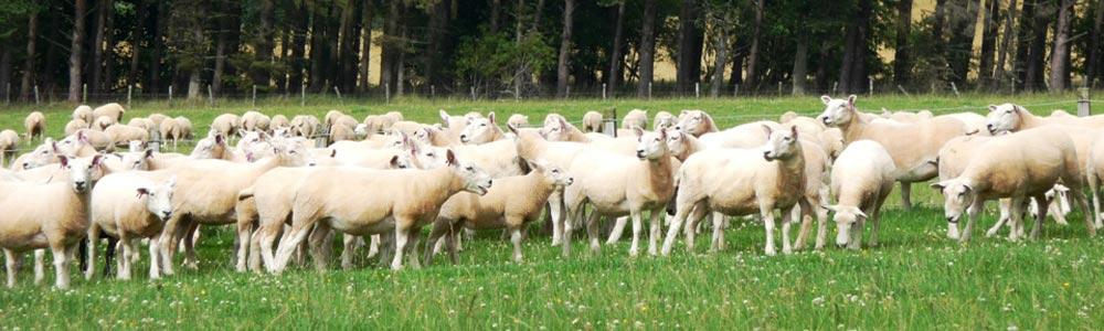 sales welsh sheep sale hoggs shearling ewes