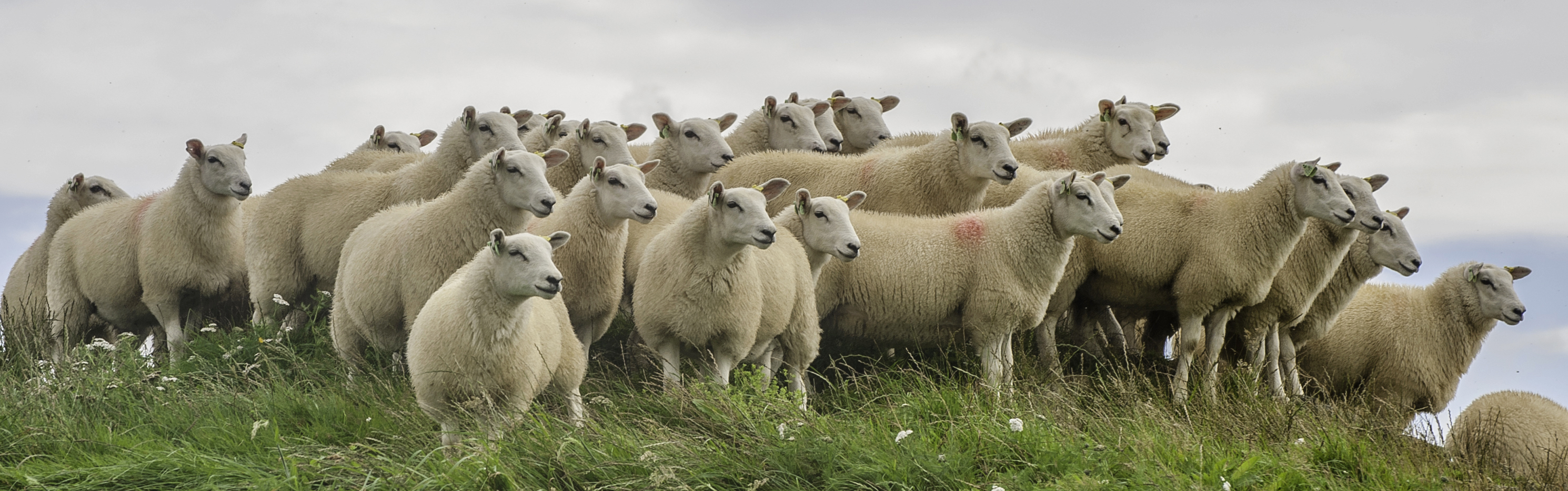 Knowles Ewes Lambs 2015 960px x 300px