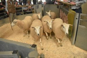 Exeter 2019 - Dudley Shellard sells shearling ewes to £140.JPG