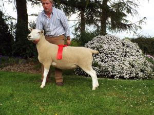 C & A Kennedys  Shearling Ewe  2nd Reserve Champion.JPG