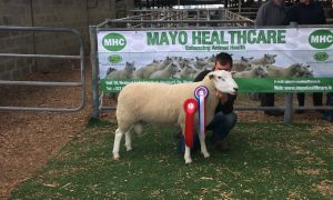 Roscommon Champion Ram - C& H Long - 1800euros..JPG
