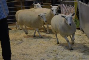 ROW 2020 - AW Hughes sells shearling ewes at 185.JPG