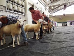 Exeter 2017 - Judging the Individual Shearling Ewe Class.JPG