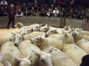 Carlisle 2014 - Rings full of sheep and buyers.jpg
