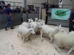Ballymena 2015 - Aubrey Bothwell sells run of shearling ewes with top price £180 for pen of 10.jpg