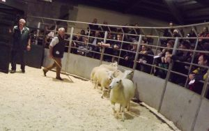 Brecon 2017 - S & E Radclife sells shearling ewes to £170.JPG