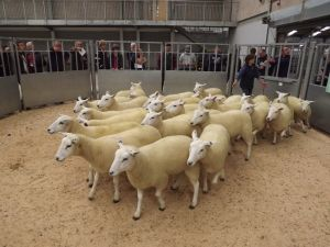 Stirling 2017 - Debbie McGowan sells shearling ewes to £180.JPG