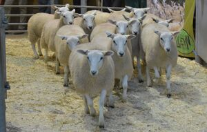 ROW 2020 - T Rees sells ewe lambs at £100.JPG