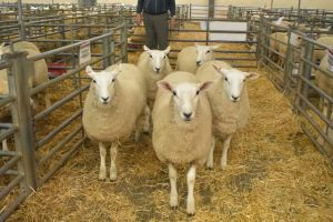 Exeter 2019 - Top priced Ewe Lambs - DW & CF Morris £130.JPG