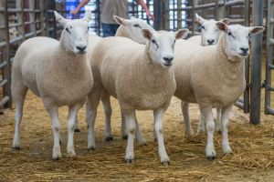 Gimmers from D Steen sold for £360.jpg