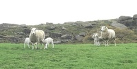 Fort Flock 1299 Ewes with lambs 220420.jpeg