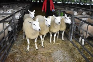 Ruthin 2018 - DN Bennett & Son sell shearling ewes for £230.JPG