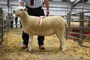 Web - Exeter 2018 - Top Priced Individual Shearling Ewe from AW Hughes - £300.JPG