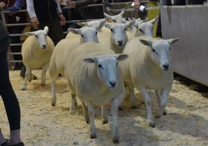 ROW 2020 - L Organ sells shearling ewes to £165.JPG