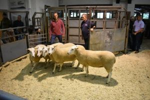 Ruthin 2018 - WJ & DJ Williams sells shearling ewes to £200.JPG