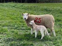 Claire Hunt - Ewe with lamb 250320.jpg