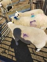 Stephen Boow Old girls about worn out at 54kg with only 4 teeth left but she has reared 100.8kg of lambs 240420.jpg