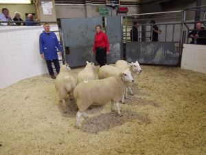 Roscommon 2016 - Orla Barry sells shearling ewes to 215euros.JPG