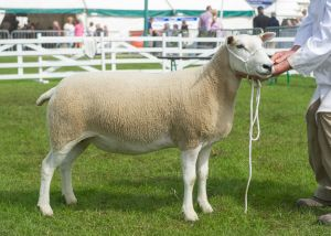GYS 2019 - Overall Champion & First Prize Aged Ewe - RV Jones.jpg