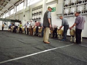 Exeter 2017 - strong class of shearling rams.JPG