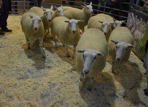 ROW 2020 - C Lewis sells shealing ewes £165.JPG