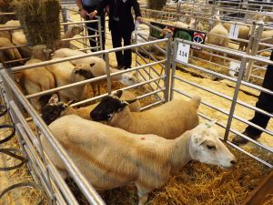 NLSC 2016 - the crossbred section saw Suffolk x and Hampshire Down x lambs.JPG