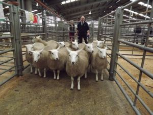 Stirling 2015 - CC & C Crawford sells ewe lambs for top prices - £155 x 5 & £150 x 5 - bought by same buyer.jpg