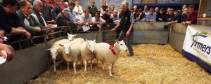 Carmarthen 2015 - Roger Wells sells 1st prize shearling ewes at £175.jpg