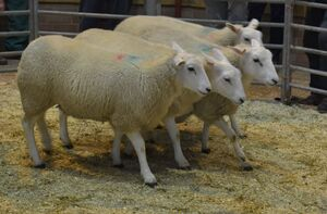 ROW 2020 - D OBrien sells ewe lambs to £122.JPG