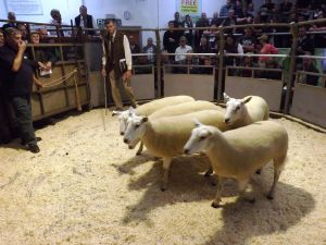 Ruthin 2016 - JA & R Geldard & Sons sells 2nd prize shearling ewes for £205.JPG