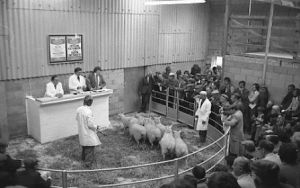 First Lleyn Sheep Sale in Gaerwen (1).jpg