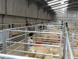 Ballymena 2015 - The penning in the new shed.jpg
