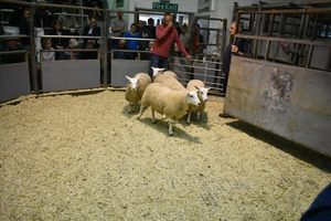 Ruthin 2018 - WJ & DJ Williams sells ewe lambs at £108.JPG