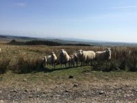 Texel ewes with Lleyn x lambs
