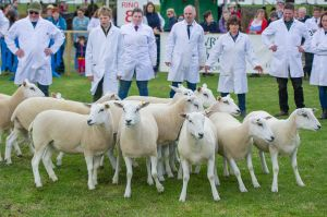 RHS 2018 - Strong class of shearling ewes.jpg