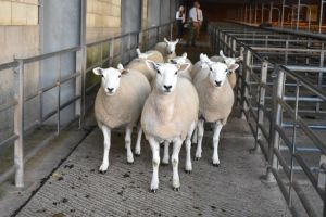 ROW 2018 - there is some quality ewes and lambs here ready for buyers tomorrow.JPG