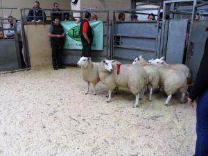 Ballymena 2015 - 1st prize ewe lambs from R & E Edwards sell for £130.jpg
