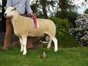 C & A Kennedys Overall Champion Aged Ram.JPG