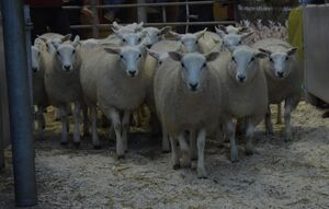 ROW 2020 - ST Morris sells ewe lambs £110.JPG