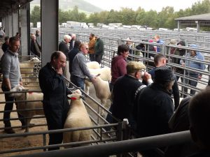 Brecon 2017 - Judging the rams.JPG