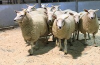 Brecon 2020 - ST Morris sells ewe lambs to £110.jpeg