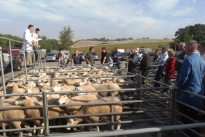 Ross 2013 Selling the non MVA sheep