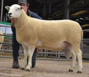 ROW 2020 - Lluest Ram - Top Price - 3700gns.JPG