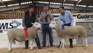 Welshpool 2017 - the judge Michael Cursiter with 1st & 2nd rams from the Fort Family.JPG
