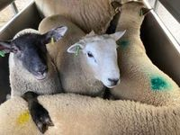 Ryan Came-Johnson - Lleyn & Lleyn x Suffolk lambs, January born (3months old), 39.2kg sold for £107 at market today 150420.jpg