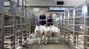 Ballymena 2018 - 1st prize shearling ewes from C & A Kennedy - £200.JPG