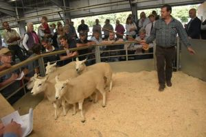 Exeter 2019 - G & A Fort sells shearling ewes to £175.JPG