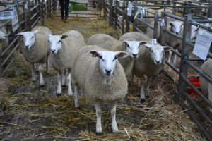 Web - Exeter 2018 - 1st Prize Ewe lambs from J & R Twose.JPG